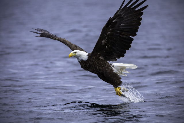 Bald Eagle Gotcha