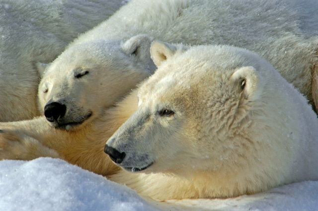 Mother and Cub, Polar Bears, Churchill, Manitoba