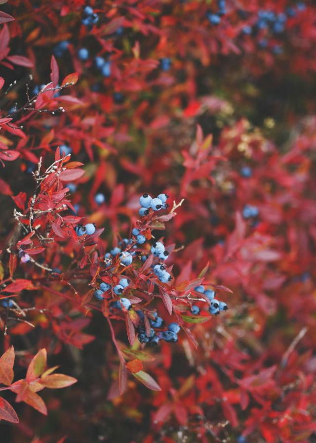 Autumn Blueberries
