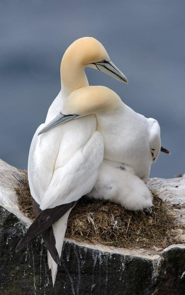 Northern Gannet Family