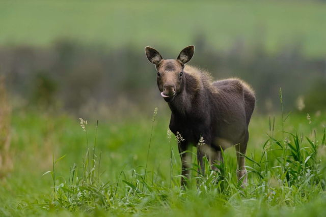 Young Moose in Goulds, NL