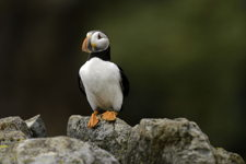 Atlantic Puffin along the cliffs