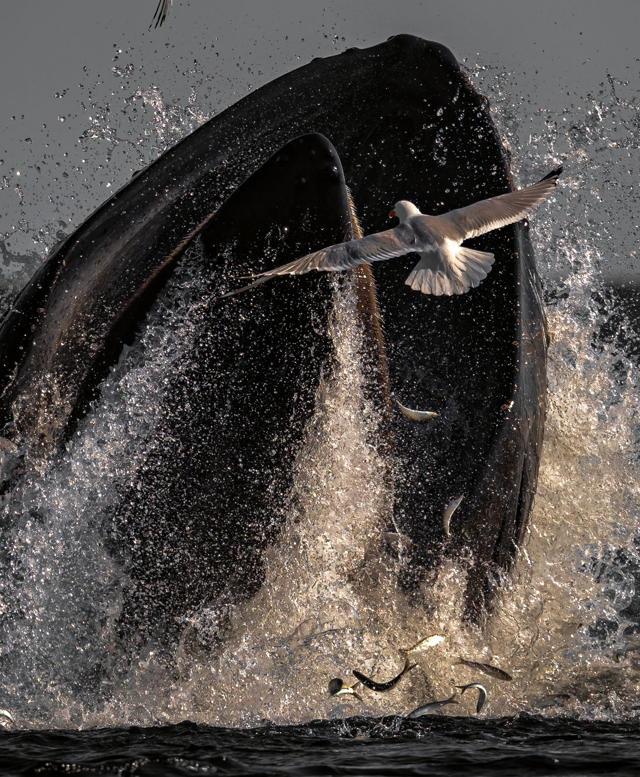 Humpback Whale Holyrood
