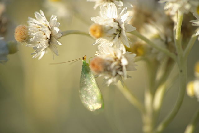Green Jewelwing on Pearly Everlasting