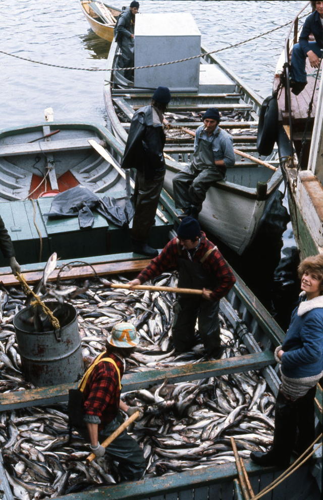 Skiff Loads of Trap Cod - Lawn, NL. - 1977