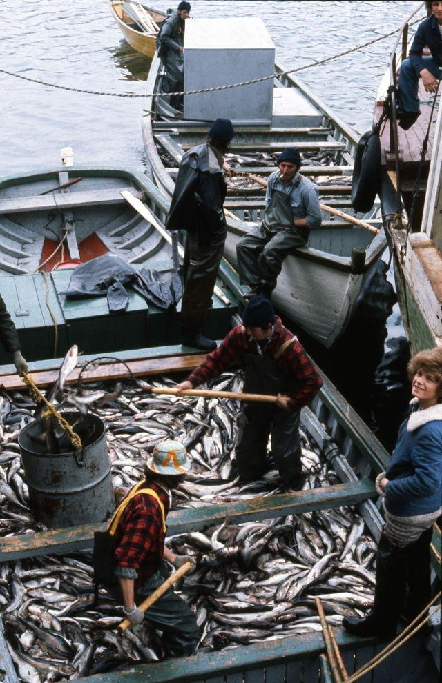 Skiff Loads of Trap Cod - Lawn, NL. - 1977