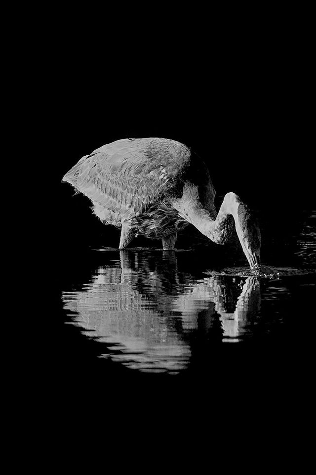 Blue Heron in Black and White