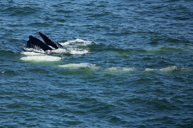 Humpback whale bubble screen fishing