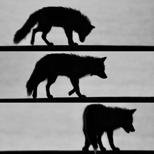 Foxy silhouettes