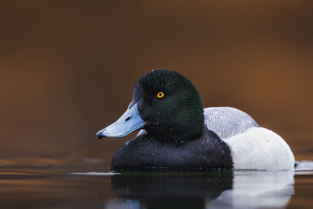 The Greater Scaup