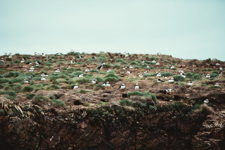 Nesting Puffins of Elliston