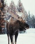 Smiling Moose
