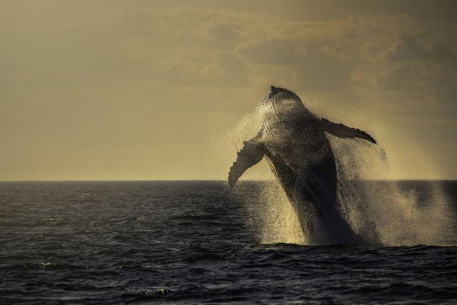 Humpback Full Breach at Sunset