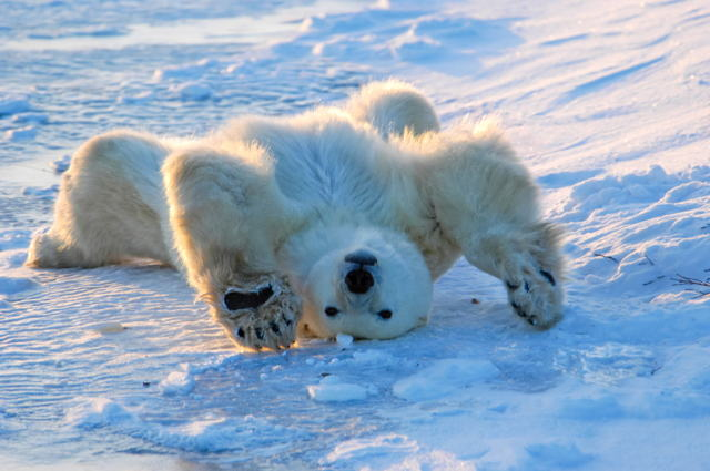 Morning Stretch, Polar Bear, Churchill, Manitoba