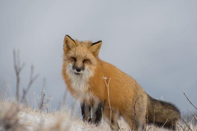 Frosty fox portrait