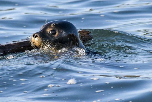 Guilty Seal