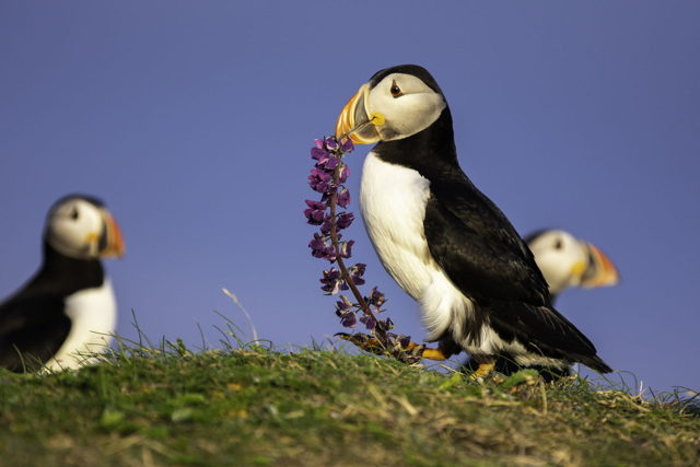 Puffin Carrying Lupin