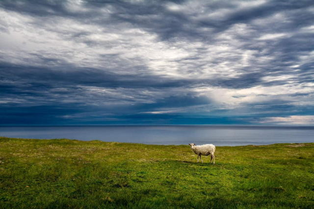 Sheep at the Cape