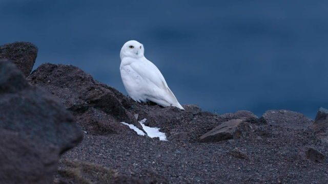 Snowy Owl at Cape Spear