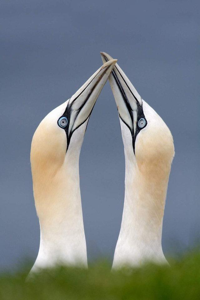 Northern Gannet Pair