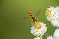 Long hoverfly on Pearly Everlasting