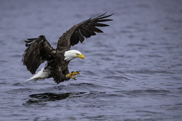 Bald Eagle catching Ocean Perch.