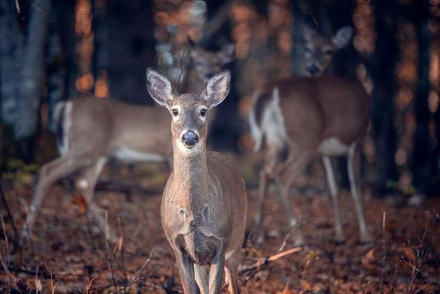 Oh Deers