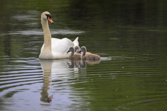Cygnets with their Mom