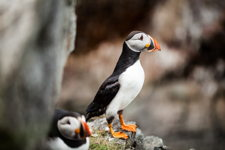 Elliston Puffin I