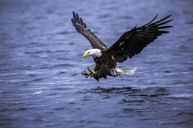 Bald Eagle Catching Herring