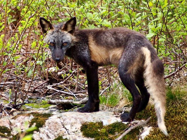 Fox of Salvage