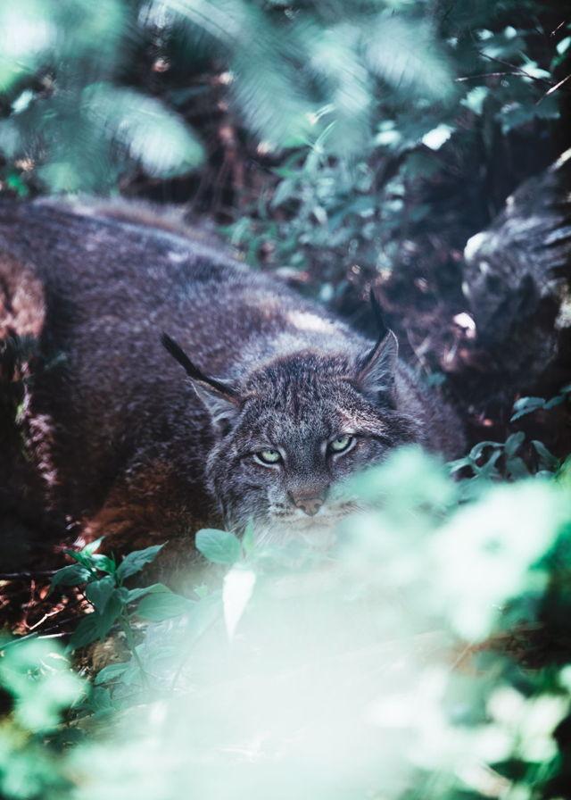 Lynx in the Brush