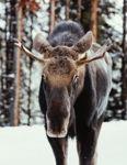 Young Bull Moose Portrait in Jasper