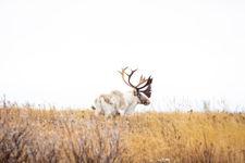 Majestic Caribou