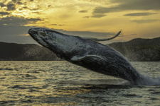 Humpback whale breach two