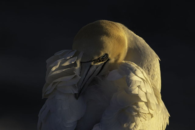 Northern Gannet in the setting sun