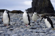 Penguin - Waddle of Chinstraps, Fort Point Antartica