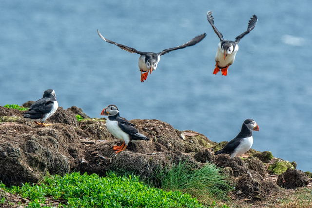 Final Approach, Atlantic Puffins, Elliston-Maberly, Newfoundland