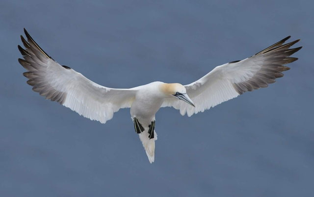Northern Gannet in Cape St. Marys