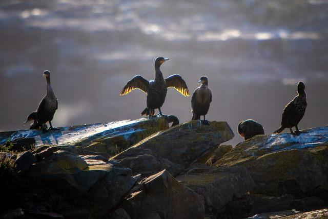 Cormorants at Dusk