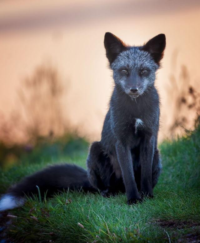 Signal Hill Silver Fox at Sunrise