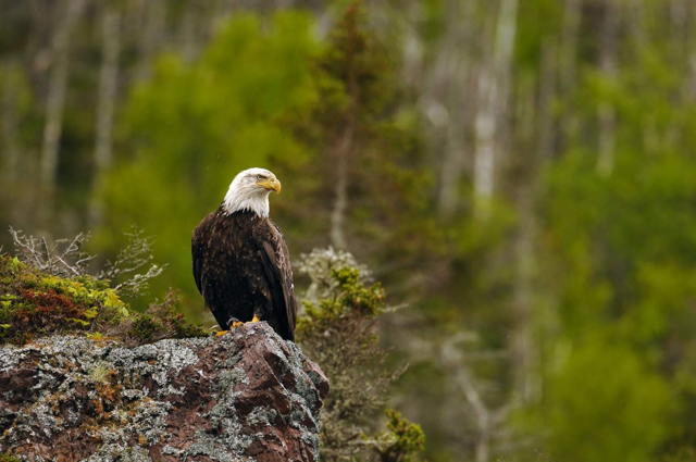 Bald Eagle on Rock Perch