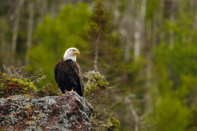 Bald Eagle on Rock Perch