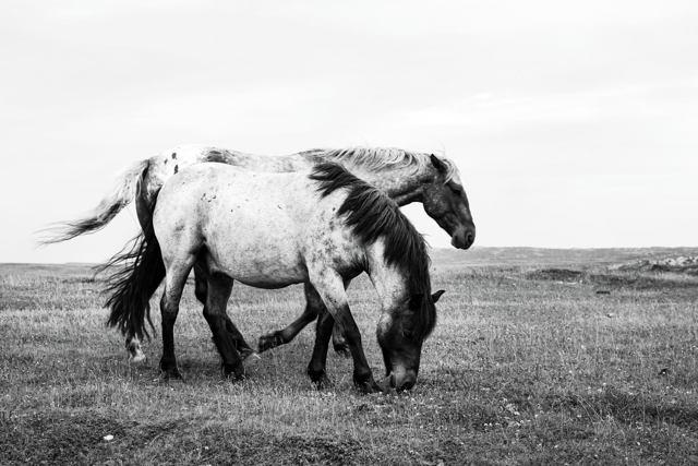 Bonavista Horses