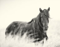 The Sire of Sable Island