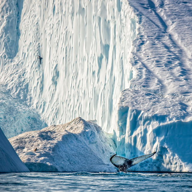 Humpback and Iceberg 1