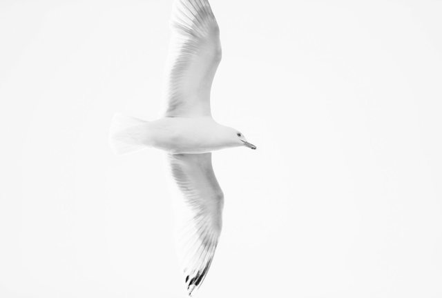 Gull Monochrome