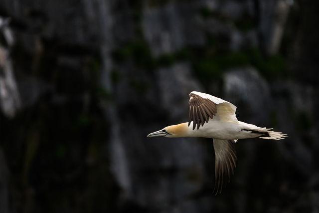 Gannet Flight 2