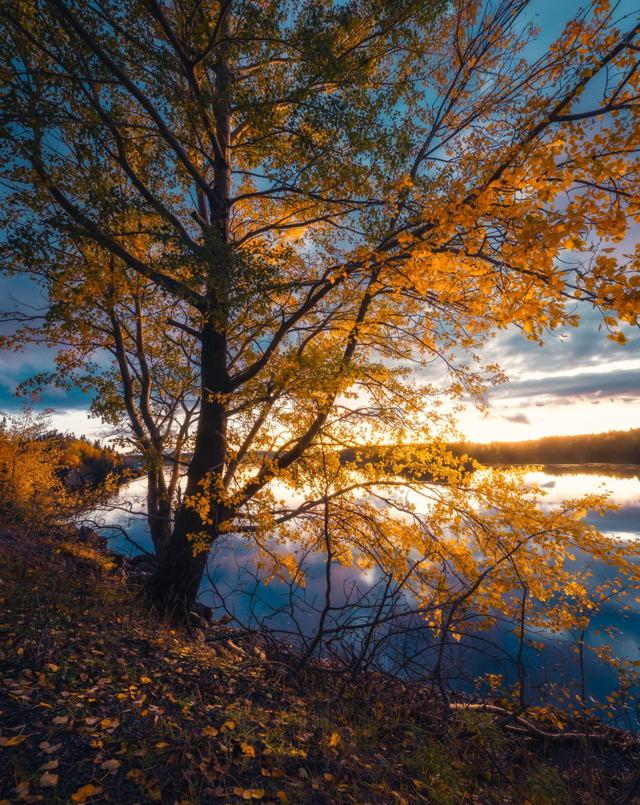 Evening Autumn Tree