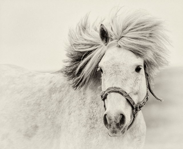 Jigger, Newfoundland Pony, Change Islands, Newfoundland